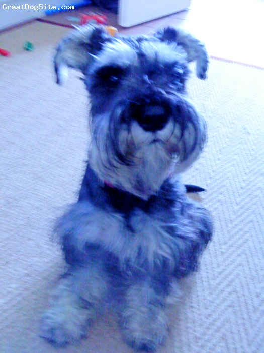 Miniature Schnauzer, 12months, salt and pepper, my baby girl!