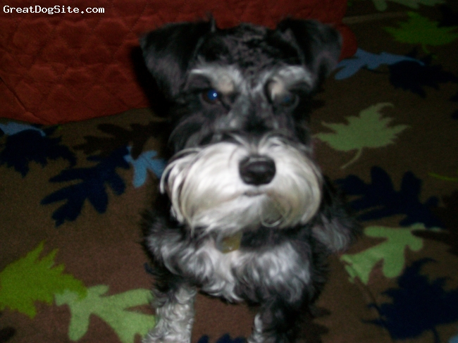 Miniature Schnauzer, 1.5, Black/Silver, Waiting for her favorite snack!