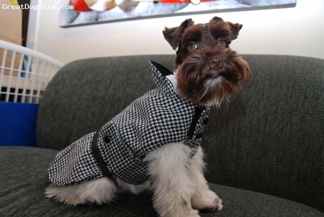 Miniature Schnauzer, 7 Months, Parti, Modeling her new sport coat