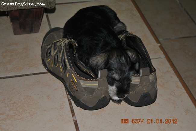Miniature Schnauzer, 8 weeks, Salt & Pepper, Feels safe with my shoes