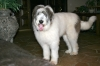 Mioritic Sheepdog, 2 years, White and Black