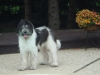 Mioritic Sheepdog, 7 months, White and Black