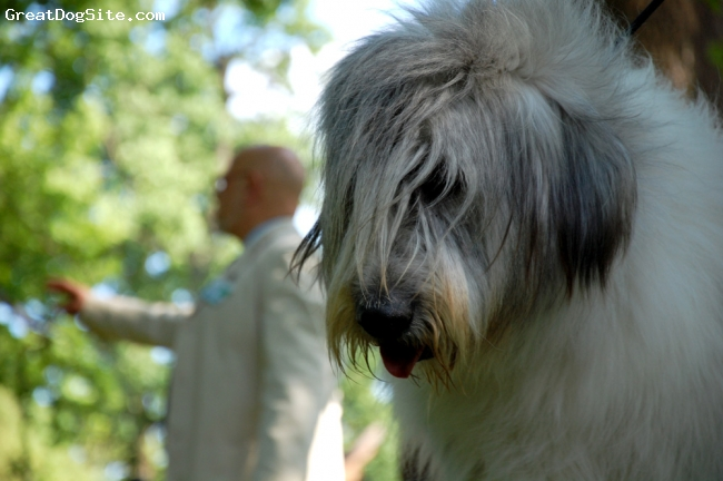Mioritic Sheepdog, 18, white - grey, excellent type, good and reliable friend