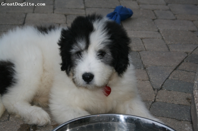 Mioritic Sheepdog, 2.5 months, White and Black, 2.5 months baby mioritic sheepdog