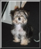 Morkie, 4 months, Black/cream