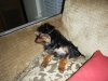 Morkie, 10 months, black & brown w/white strip on chest