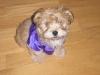 Morkie, 11 weeks, brown/white/black