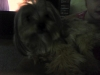 Morkie, one year old, tan/brown