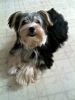 Morkie, 6 months, Black w/tan muzzle+boots/white chest