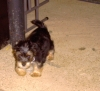 Morkie, 4 mos., Black, cream and white