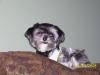 Morkie, 4, brownish