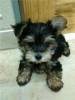 Morkie, 8 weeks, Black and Tan (for now)