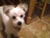 Morkie, 6 months, white