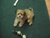 Morkie, 12 weeks, Brown, Cream