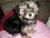 Morkie, 12 weeks, Black and Blonde