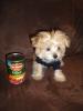 Morkie, 16 weeks, Caramel