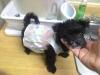 Morkie, 10 weeks, Black and white