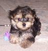 Morkie, 15 weeks, black w. brown