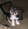Morkie, 16 weeks now, Black, Brown & White