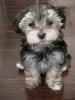 Morkie, 2 months, Black & Cream