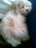 Morkie, 12 weeks, Cream