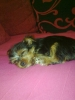 Morkie, 10 weeks old, black n tan, with cream chest.