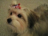 Morkie, 8 month female, tan, cream, black