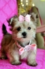 Morkie, 4 months, cream face, body cream, red , black