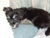 Morkie, 12 weeks, Black/Grey