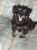 Morkie, 13 Weeks, Black/Gray