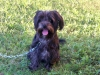 Morkie, 9 months, Black