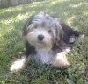Morkie, 6 Months, Black and Tan