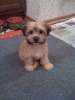Morkie, 3 Months in this picture, Brown and Tan