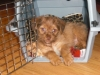 Morkie, 9 weeks, light brown