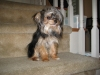 Morkie, 5-7 months, silver,black,brown