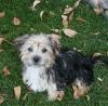 Morkie, 3 1/2 months, tan/black/silver