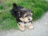 Morkie, 11 months, Black/Tan