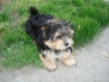 Morkie, 11 months, Black and Tan