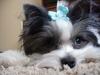 Morkie, 1 year, white and black