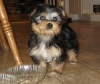 Morkie, 10 wks., black/brown/white
