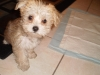 Morkie, 2.5 months, white and tan