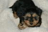 Morkie, about 7 weeks, black and tan