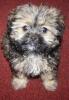Morkie, 4 months, Black, White, Tan