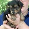 Morkie, 6 weeks, black and brown