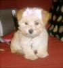 Morkie, 4 months, Blonde