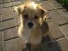 Morkie, 11 weeks, Buff