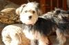 Morkie, 1 year, Black, tan and white