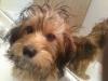 Morkie, 1 year, brown/black