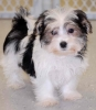 Morkie, 3 months, white and black