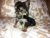Morkie, 2 months, black/brown